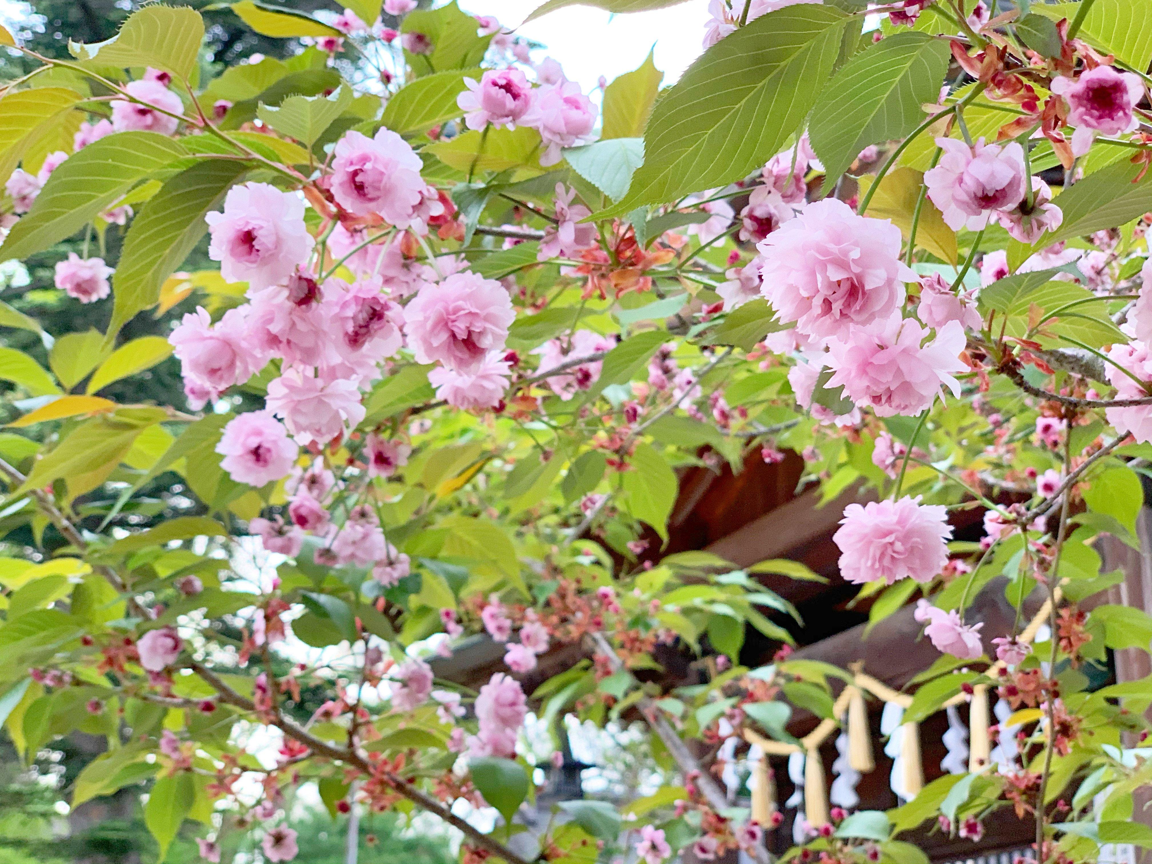 慈恩寺稚児桜